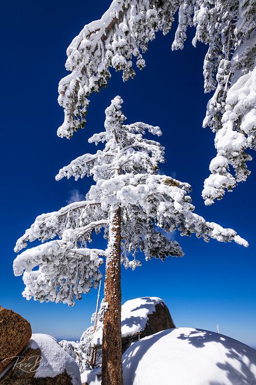 Rime ice on pines in the San Bernardino Mountains, San Bernardino National Forest, California USA