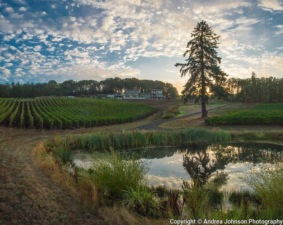 Pinot Noir harvest at Alexana Estate Vineyards, Dundee Hills AVA, Willamette Valley, Oregon