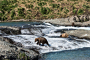Adult grizzly bears fish for chum salmon in the upper McNeil River falls at the McNeil River State Game Sanctuary on the Kenai Peninsula, Alaska. The remote site is accessed only with a special permit and is the world's largest seasonal population of brown bears.