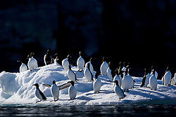July 21, 2019 - Thick-Billed Murre  (Credit Image: © Richard Wear/Design Pics via ZUMA Wire)
