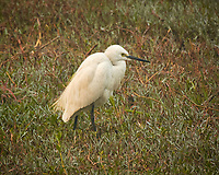 Little Egret. Bharatpur-- Keoladeo Ghana National Park, Rajasthan, India. Image taken with a Nikon 1 V3 camera and 70-300 mm VR lens.