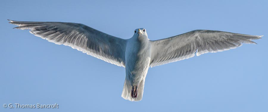 The adult glaucous-winged gull flew right over the boat as we drifted in Puget Sound.