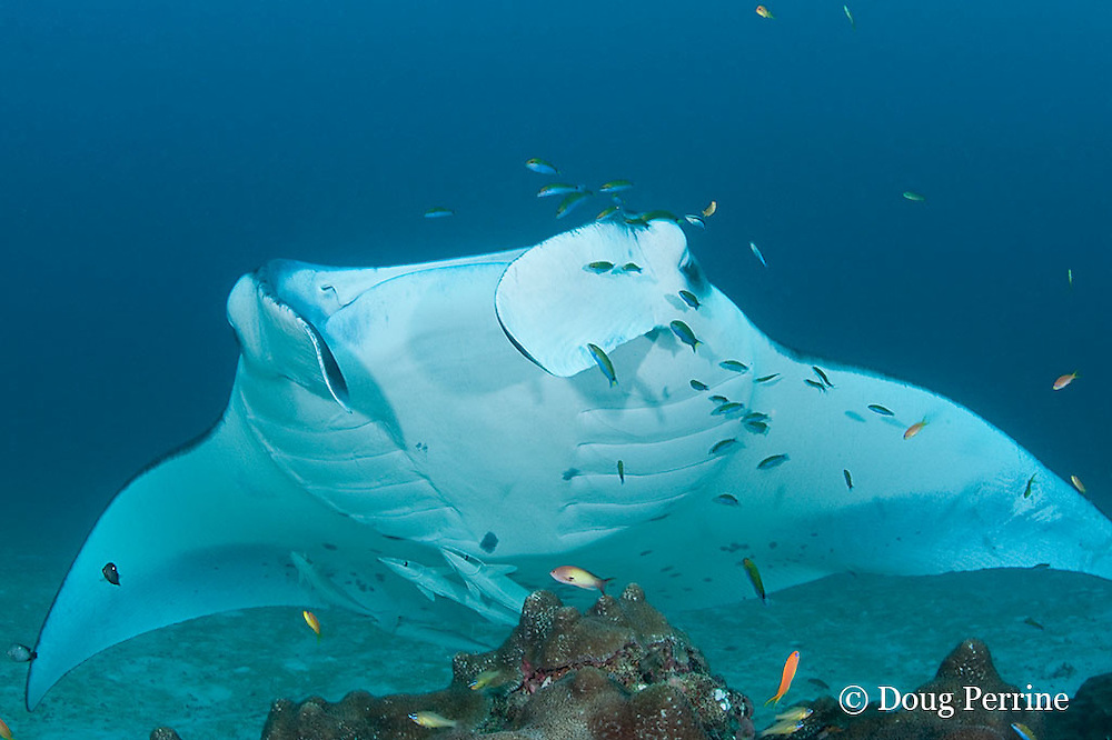 reef manta ray, Manta alfredi (formerly Manta birostris ), with remoras or sharksuckers on belly, being cleaned by moon wrasses, Thalassoma lunare, and blue-streak cleaner wrasses, Labroides dimidiatus, Sunlight Thila, Lankan, North Male Atoll, Maldives ( Indian Ocean )