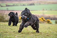 Two black cocerpoos running