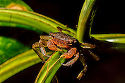Mangrove tree crab feeding on a leaf by cuttin small slivers from the leaf