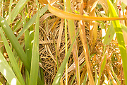 Harvest mouse (Micromys minutus) nest in wetland habitat. Surrey, UK.