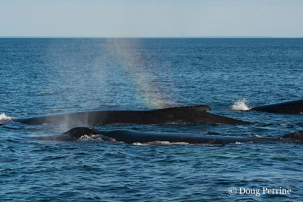 rainbow forms in spout or blow from humpback whales, Megaptera novaeangliae, off Grand Manan Island, Bay of Fundy, New Brunswick, Canada ( North Atlantic Ocean )