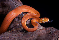 Amazon Tree Boa(Corallus hortulanus)