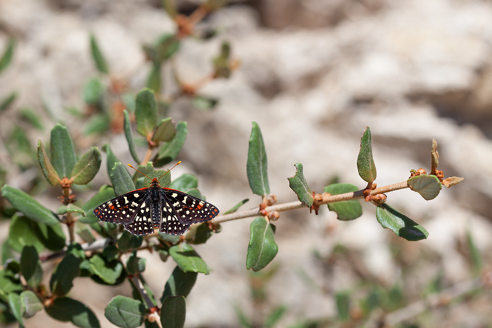 Euphydryas c. chalcedona (Chalcedon Checkerspot) at Grizzly Flat, Angeles NF, Los Angeles Co, CA, USA, on 28-May-17