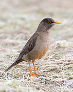 Falkland thrush (Turdus falcklandii falcklandii) from Sea Lion Island, the Falklands.