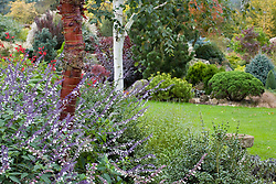 Autumn in John Massey's garden with the bark of Prunus serrula (Cherry) and Betula utilis var. jacquemontii (Silver birch) in the foreground and Salvia leucantha at their base. Conifers on rock garden beyond.