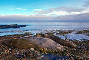 Elephant Seals, Sea Lion Island, Falkland Islands