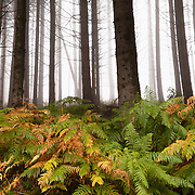 Trees in the mist with autumn collored ferns.