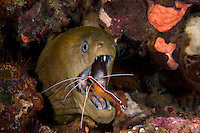 Giant Moray getting cleaned by shrimp...Shot in Indonesia