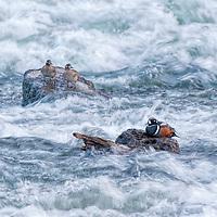 Harlequin ducks, LeHardy Rapids, Yellowstone National Park