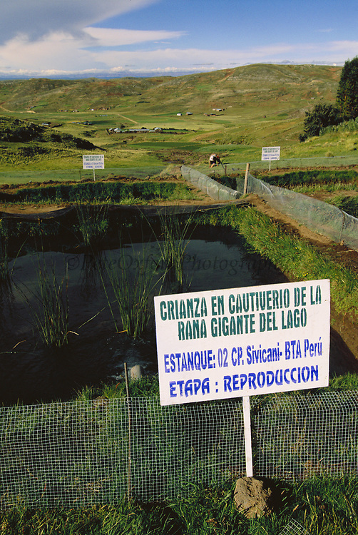 Giant Titicaca Frog Rearing Ponds<br />Telmatobius culeus<br />Lake Titicaca. border BOLIVIA AND PERU.  South America<br />Carlos Calmet's projetc