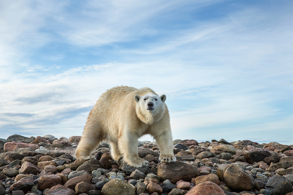 Canada, Nunavut Territory, Arviat, Polar Bear (Ursus maritimus) walking along rocky shoreline of Sentry Island along Hudson Bay
