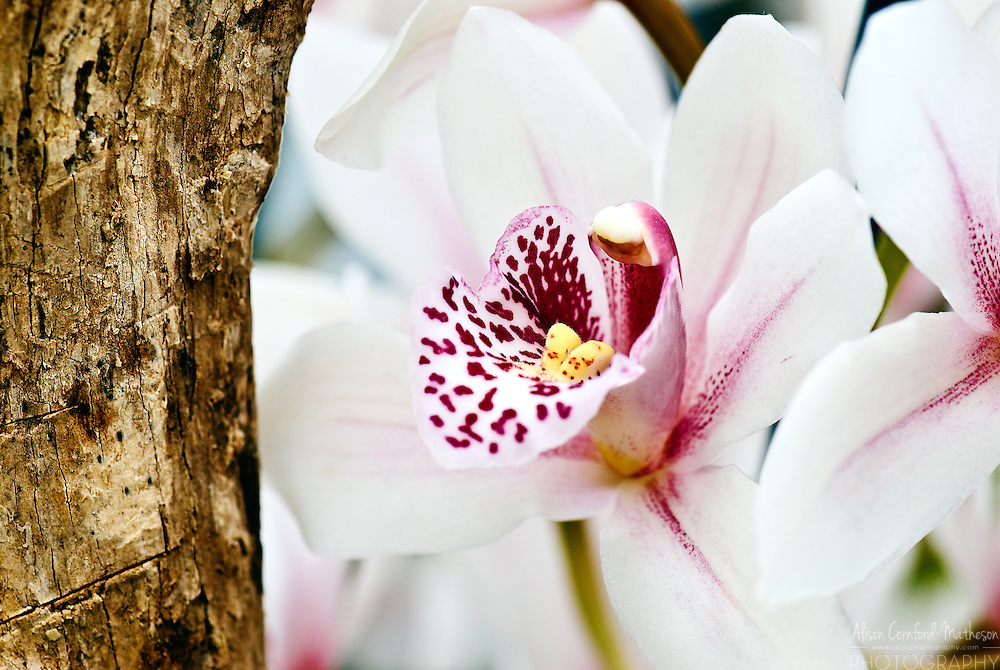 Cymbiduim Orchid 'Green Island' Keukenhof Spring Tulip Gardens, Lisse, The Netherlands.