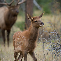 bull elk and young spotted calf elk
