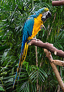 "The Blue and Gold Macaw is native to South America and is  in the Psittacidae family of true parrots. Bloedel Conservatory, Queen Elizabeth Park, Vancouver, British Columbia, Canada. Address: 4600 Cambie St. Bloedel Conservatory is a domed lush paradise where you can experience the colors and scents of the tropics year-round, within Queen Elizabeth Park, atop the City of Vancouver's highest point. From Little Mountain (501 feet), see panoramic views over the city crowned by the mountains of the North Shore. A former rock quarry has been converted into beautiful Queen Elizabeth Park with flower gardens, public art, grassy knolls. In Bloedel Conservatory, more than 200 free-flying exotic birds, 500 exotic plants and flowers thrive within a temperature-controlled environment. A donation from Prentice Bloedel built the domed structure, which was dedicated in 1969 ""to a better appreciation and understanding of the world of plants,"" and is jointly operated by Vancouver Park Board and VanDusen Botanical Garden Association."