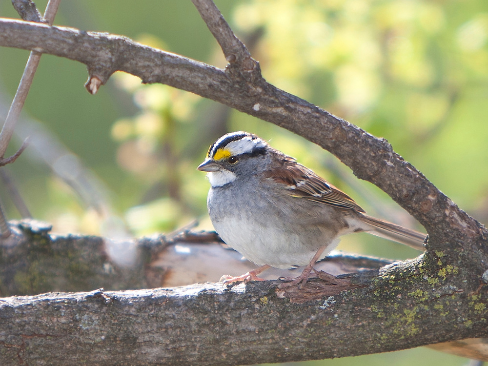 White-throated Sparrow (Zonatrichia albicollis) perched on a Maple branch in Spring.