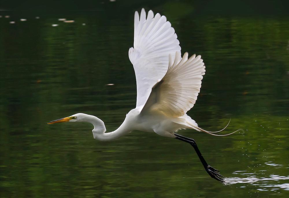 An egret in flight at Prospect Park lake.