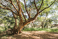 Large Fig Trees growing along a riverbank, Phinda Private Game Reserve, KwaZulu Natal, South Africa