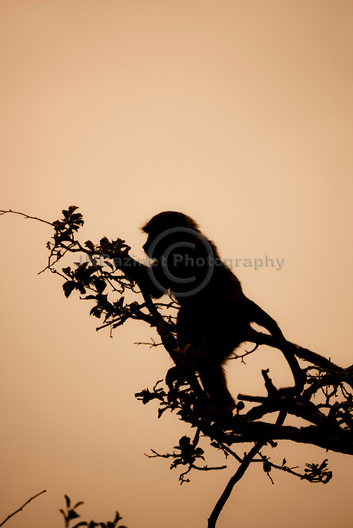 Silhouette of baboon climbing a tree to reach fruit.