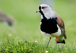 Southern Lapwing, Vanellus chilensis, standing in green grass, Patagonia, Argentina, by Rich Lindie