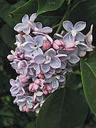 This lilac was growing on a fence in my neighborhood where I photographed it.