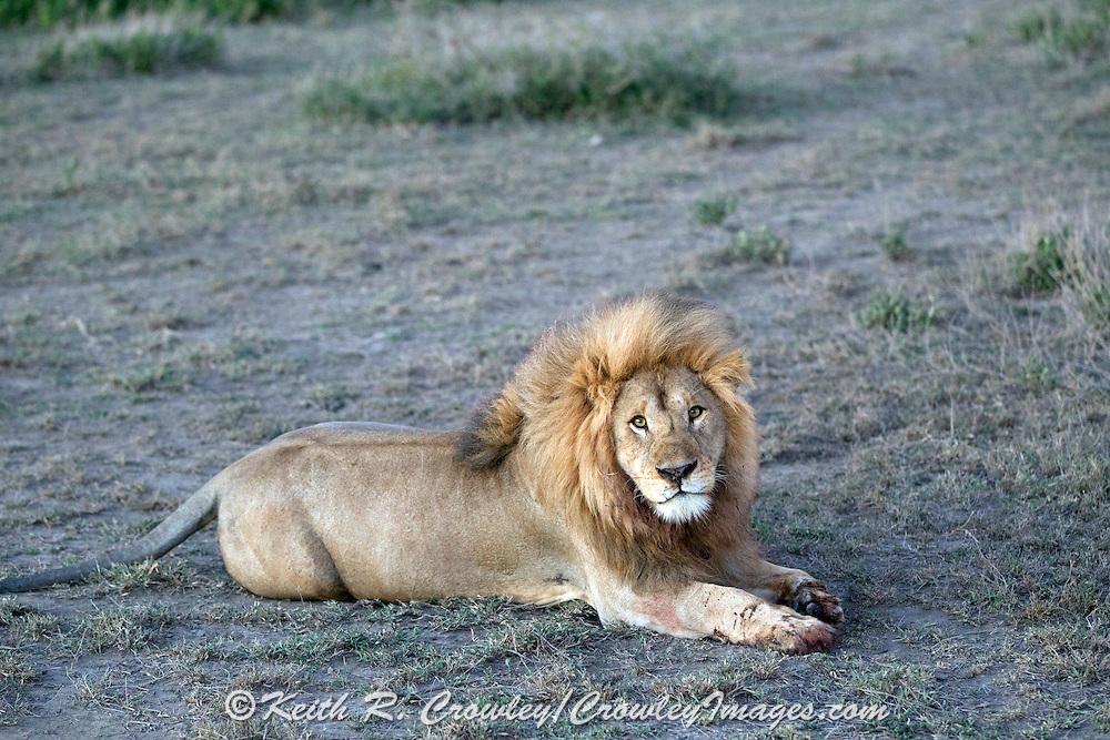 Male African lion in habitat