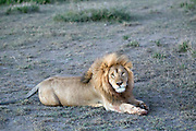 Male African lion in habitat