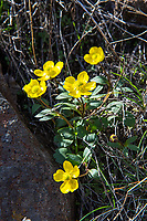 This beautiful diminutive buttercup can be commonly found across most of the Western half of Canada and the United States roughly (but not completely) to the east of the Cascade Mountain range, and is mostly associated with sagebrush desert and wide open plains. This patch was found growing in a canyon just outside of Yakima, Washington in mid-March.