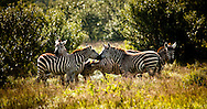 Grant's Zebra - Kenya, Africa: It was previously believed that zebras were white animals with black stripes, since some zebras have white underbellies. Embryological evidence, however, shows that the animal's background color is black and the white stripes and bellies are additions. Edition on 100