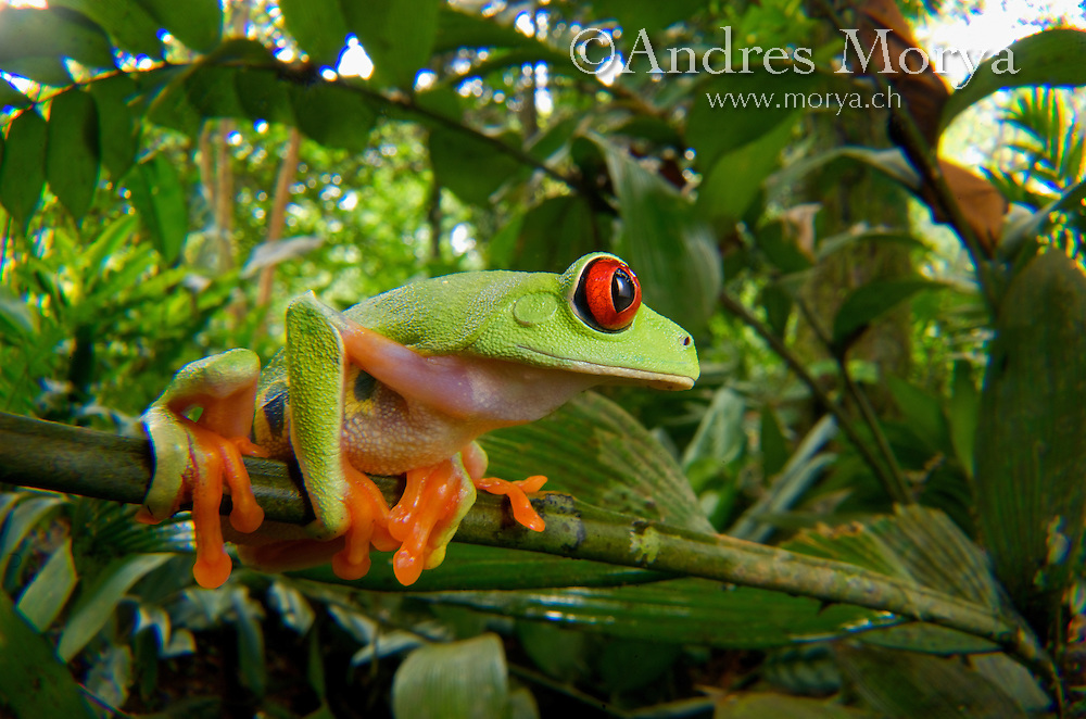 Red-Eyed Tree Frog (Agalychnis calidryas), Central America ...