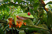 Red-Eyed Tree Frog (Agalychnis calidryas), Central America Red-eyed Treefrog (Agalychnis callidryas) is an arboreal hylid native to Neotropical rainforests in Central America. Red-eyed tree frogs inhabit areas near rivers and ponds in rainforests from southern Mexico, through Central America, to Northern Colombia. Red-eyed Treefrog (Agalychnis callidryas) is an arboreal hylid native to Neotropical rainforests in Central America. Red-eyed tree frogs inhabit areas near rivers and ponds in rainforests from southern Mexico, through Central America, to Northern Colombia. Image by Andres Morya