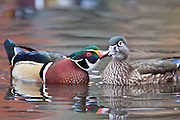 Wood Duck, Aix sponsa, pair courting, Lake County, Ohio