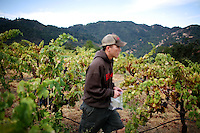 Harvest begins for Kenny Likitprakong, of Rockpile Vineyards, who makes wine to compliment Asian cuisine, in the Rockpile appellation of Sonoma County, in Geyserville, Ca., on Saturday, September 12, 2009.