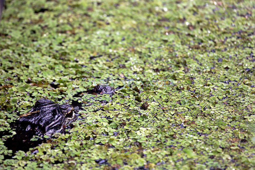 01 June 2015. Jean Lafitte National Historic Park, Louisiana.<br /> An alligator lies in wait in the swamp at the Barataria Preserve wetlands south or New Orleans. The lizard turns brown camouflaging itself when danger threatens. <br /> Photo©; Charlie Varley/varleypix.com