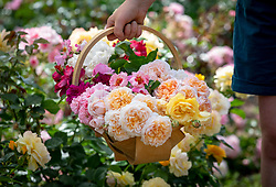 Basket of mixed cut fragrant roses