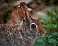 Rabbit in my wildflower garden. Backyard spring in New Jersey. Image taken with a Nikon D810a camera and 600 mm f/4 VR lens (ISO 1600, 600 mm, f/4, 1/1000 sec).