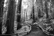 Muir Woods Northern California, a trail leading deeper into the woods.