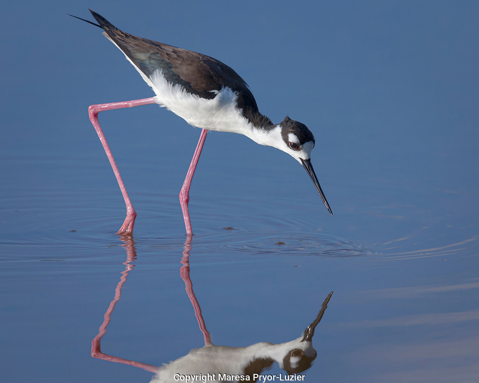 Black-necked stilt with reflection, Himantopus mexicanus, Eco pond, Everglades NP, Florida, USA