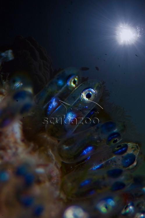 Close up of Anemonefish eggs, Alila Gaafu Atol, The Maldives.