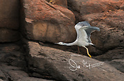 White-faced heron (Egretta novaehollandiae) takes flight along the sandstone escarpment on the Hunter River in Western Australia.