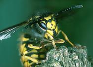 German Wasp - Vespa germanica