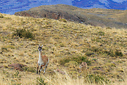 A puma hunts a guanaco next to Torres del Paine National Park in Chile.  It was amazing to watch the mountain lion creep up on the guanaco.  The guanaco was initially calming eating with no idea it was being hunted.  When the mountain lion charged the guanaco quickly became aware and was able to quickly escape.  Every second counted.