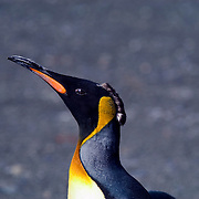 A juvenile King Penguin sports a mohawk of moltig feathers on South Georgia [Island] in the South Atlantic.