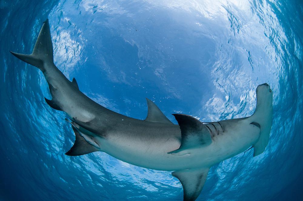 Great Hammerhead Shark shot from below.
