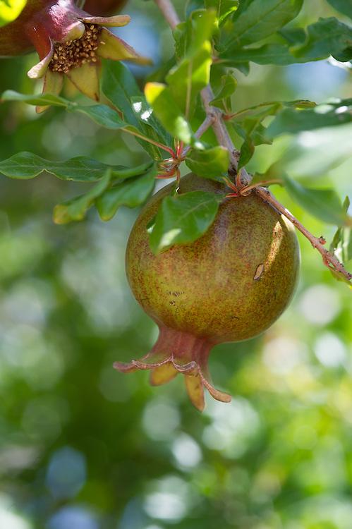 Pomegranate in Tree